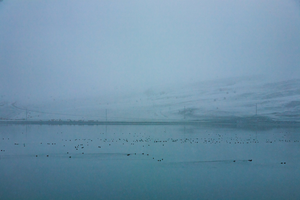 A flock, skein, paddling or plump of ducks during snowfall