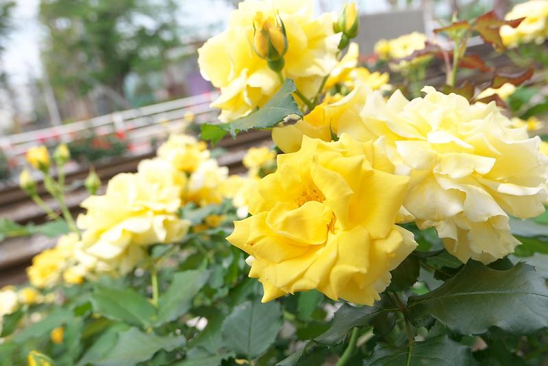 都電荒川線(東京さくらトラム)沿線のバラ