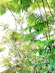 Trough the ferns #Martinique #lilisbeach #lilisbar #schoelcher #hotelbateliere #fern #nature #sunnysky #light #carribeanlifestyle #carribeancolours #travel #trip #placetosee #placetovisit #placetobe #sun #islandlife #islandslifestyle #photography