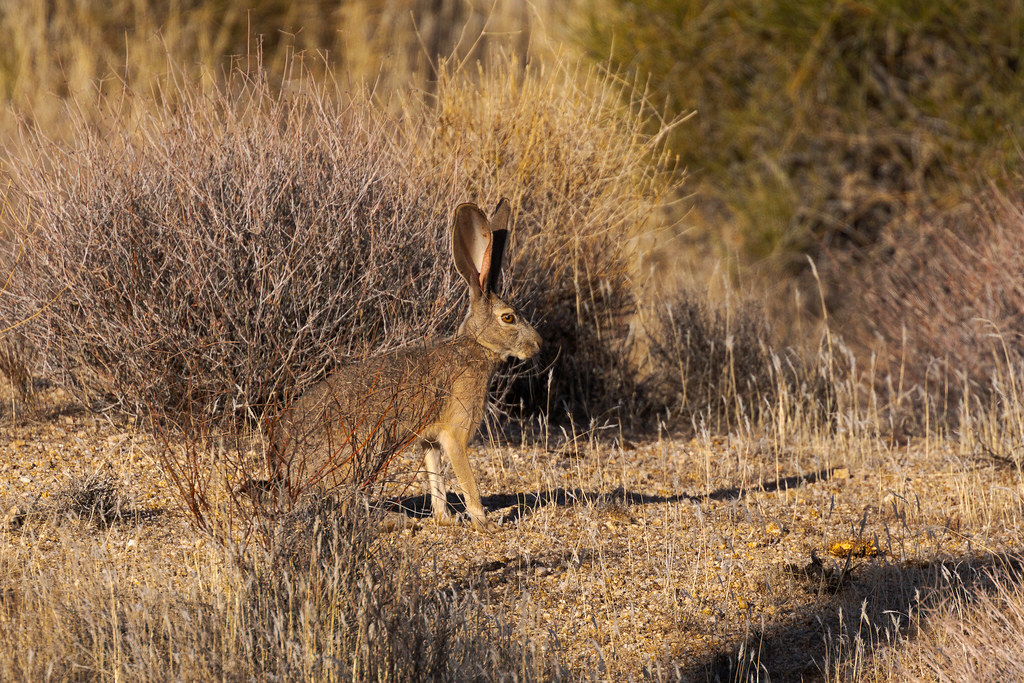 A black-tailed jackrabbit sits in the Sonoran Desert in the Brown's Ranch section of McDowell Sonoran Preserve in Scottsdale, Arizona