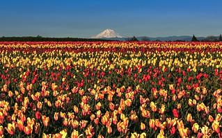 Tulips & Mt Hood