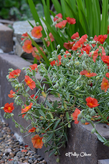 helianthemum-fire-dragon-sun-rose