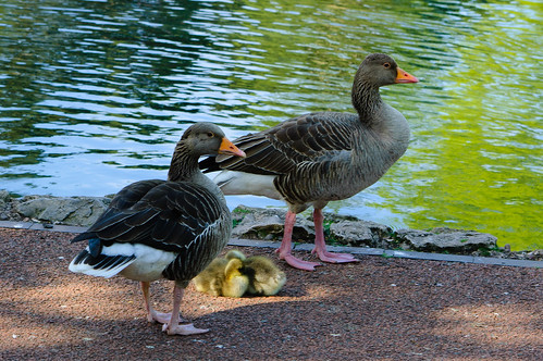 Greylag goose family, West Park