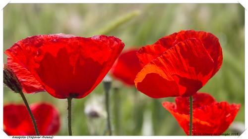 La amapola, la flor que molesta a los agricultores y que adoran las redes sociales / Poppy, the flower that bothers farmers and who adore social networks