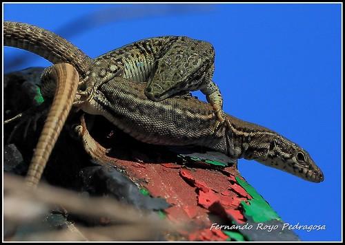 Podarcis hispánica