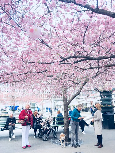 cherry blossom kungsträdgården, stockholm, sweden, april 26, 2018