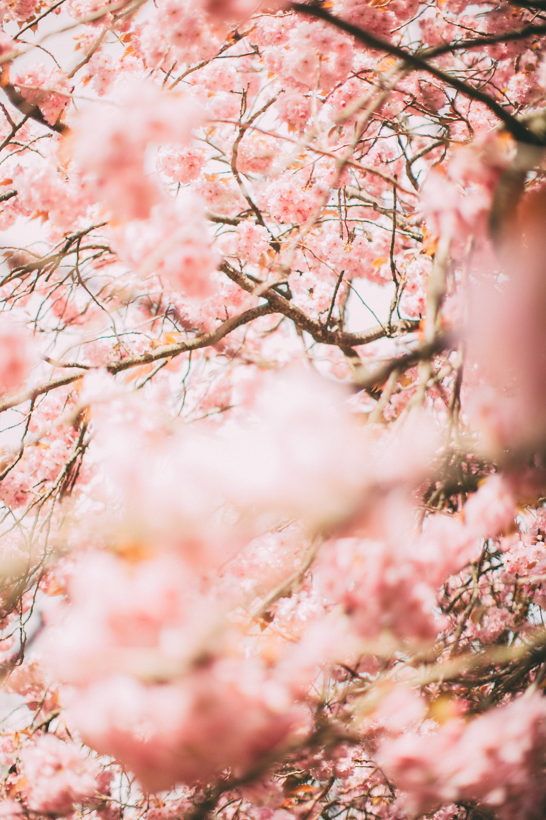 pink blossom-35