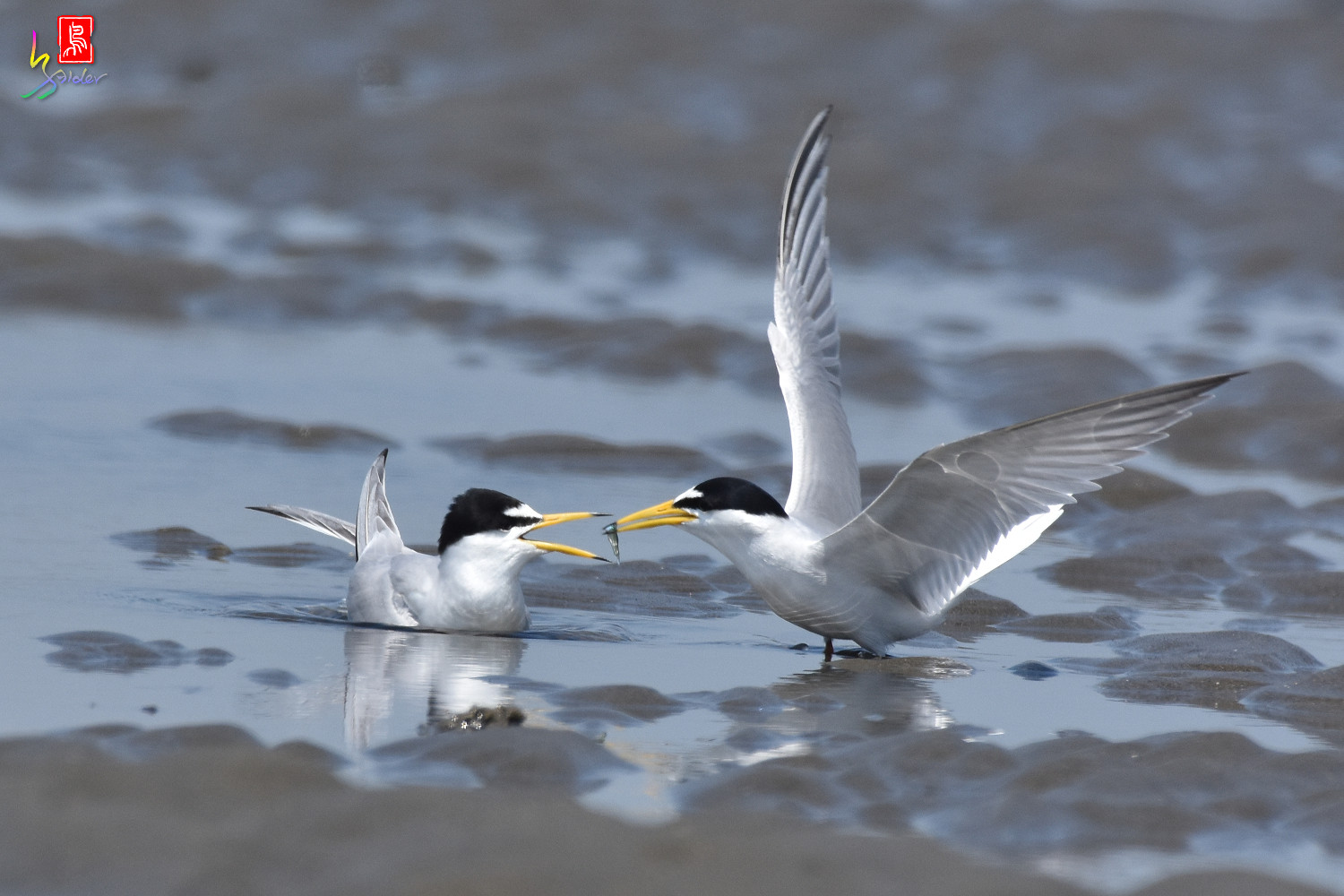 Little_Tern_8881