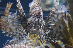 Pterois / Lion Fish