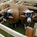 Blackface Scottish Sheep