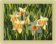 Spring's Golden Daffodils