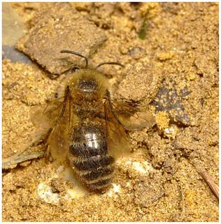 Bee IMG_0808