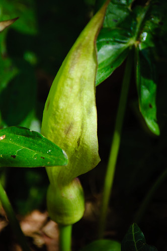 Wild arum, spathe beginning to open