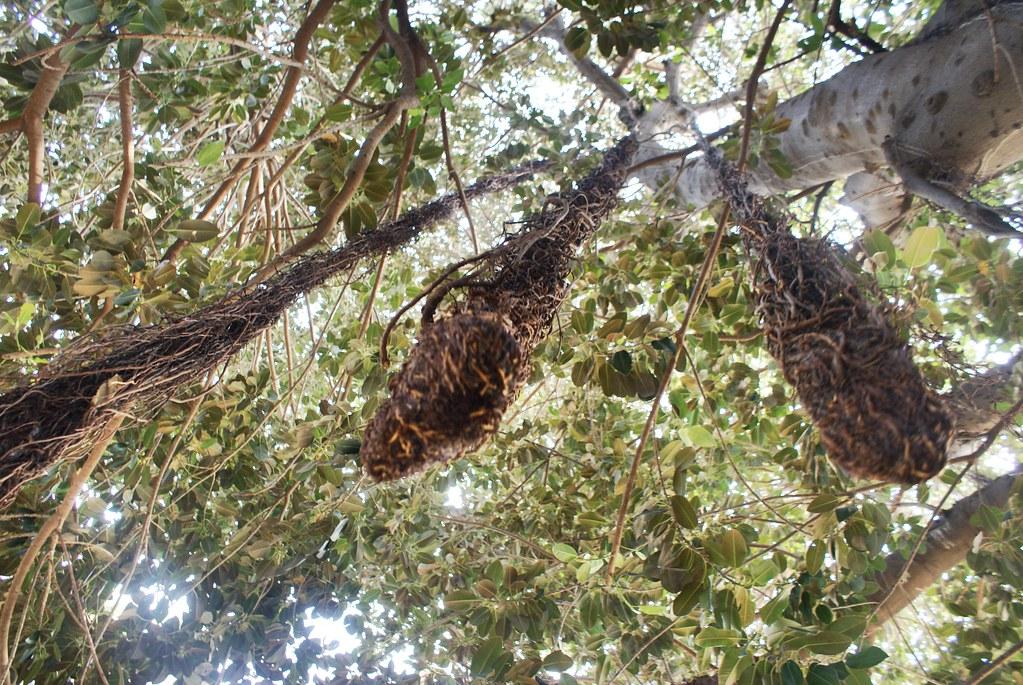 Ces rejets descendent des branches et se transforment en tronc lorsqu'ils touchent le sol - Jardin Garibaldi à Palerme