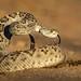 Western Diamondback Rattlesnake by Eric Gofreed