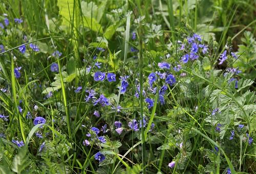 Veronica chamaedrys var. chamaedrys - véronique petit-chêne 28358505578_35fe7b12e3