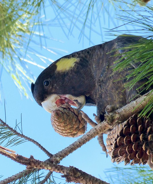 Yellow tail Black Cockatoo - crunching Pine cones for nuts
