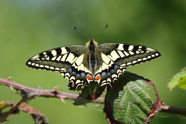 IMGP9198c Swallowtail, RSPB Strumpshaw Fen, May 2018