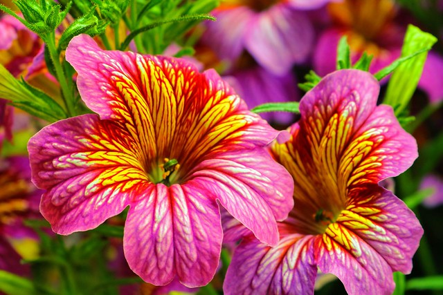 Beautiful Salpiglossis flowers at the Chicago Botanic Garden in Glencoe, IL USA