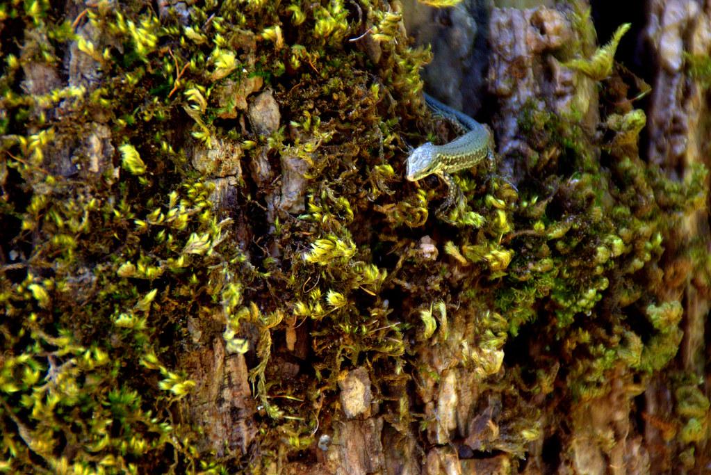una lagartija diminuta