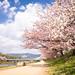 sakura '18 - cherry blossoms #10 (Kamigamo, Kyoto) by Marser
