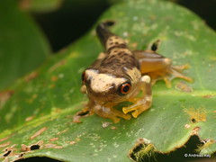 Baby frog, Dendropsophus sp.
