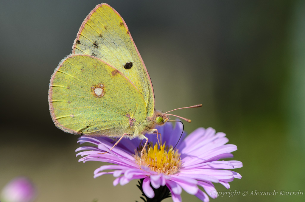 Yellow butterfly collects nectar on a bud of Astra Verghinas