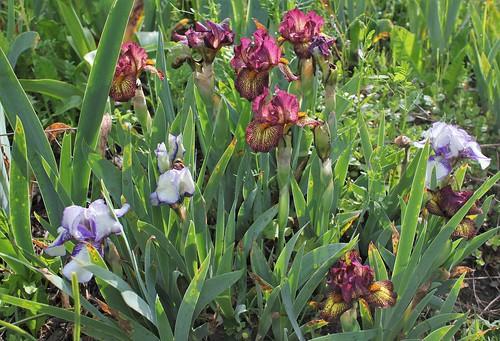 Iris 'Firestorm' - Marky Smith 1992 41157392035_2e3e544a0c