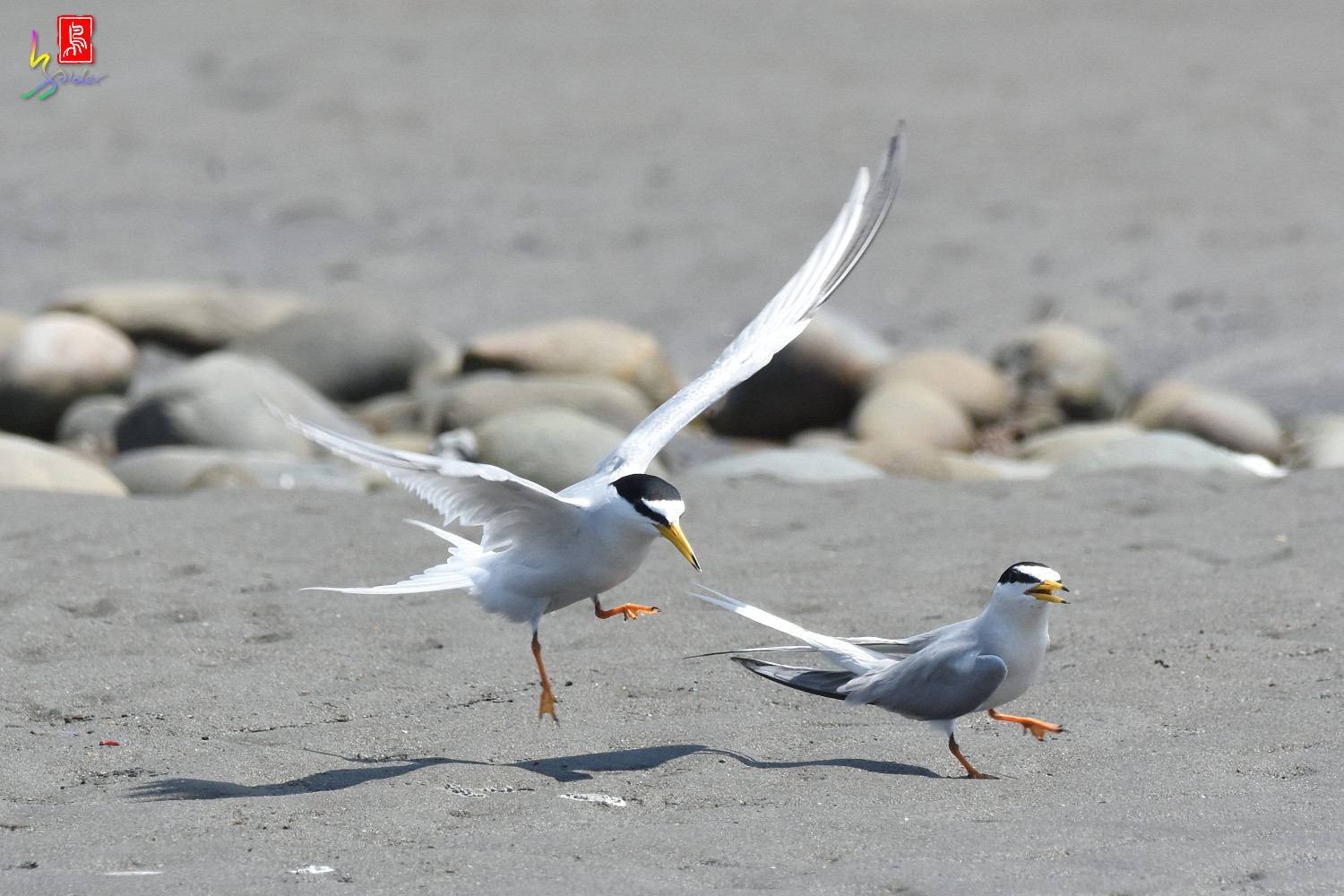 Little_Tern_8672