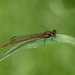 Large Red damselfly at Chesworth Farm, Horsham