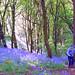 Bluebells, The Clent Hills