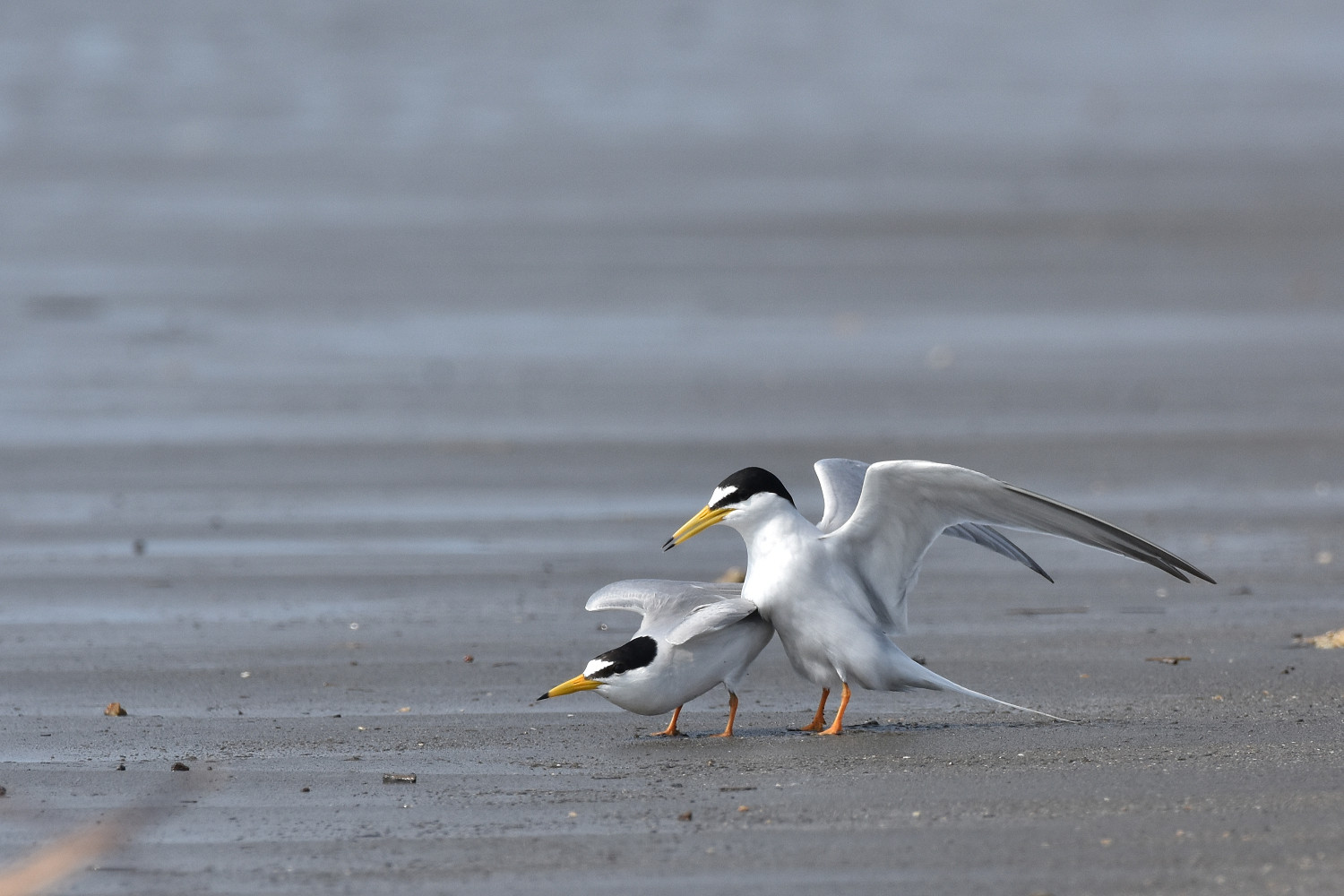 Little_Tern_4436