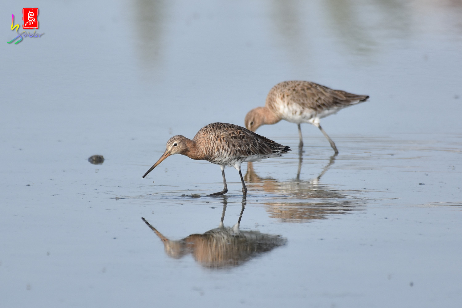 Black-tailed_Godwit_6609