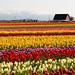 Tulip Festival by Jonathan Miske