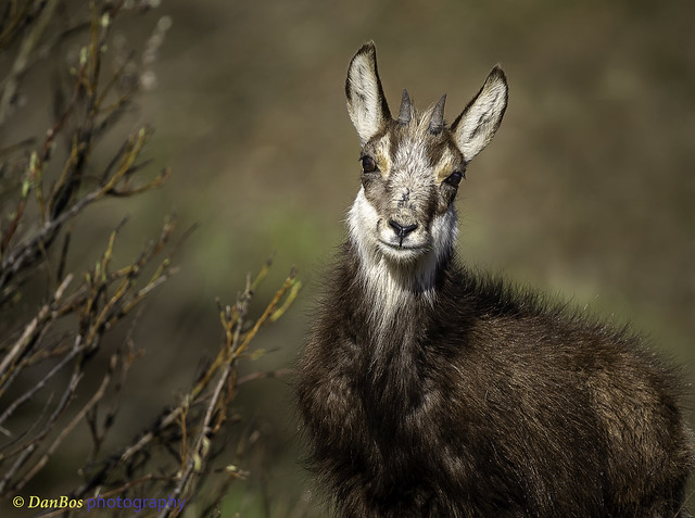 Close-up of baby Chamois