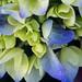Hydrangea blooms blue