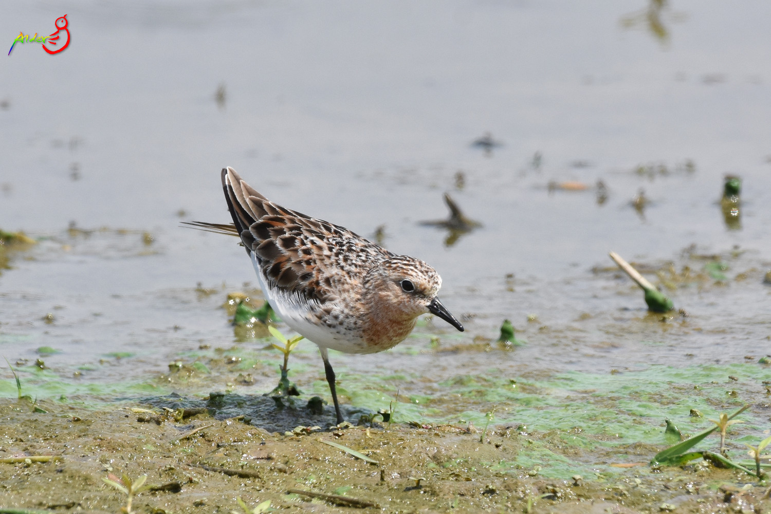 Red-necked_Stint_5515