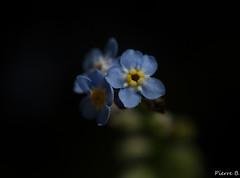Oreille-de-souris, grémillet, scorpione, herbe d'amour
