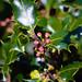 Holly flower buds
