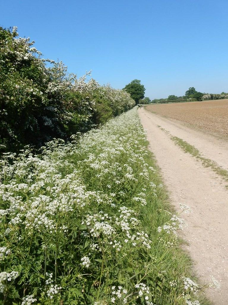 Long straight path Roydon to Sawbridgeworth Cow parsley season