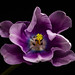 Lilac tulip by Magda Banach