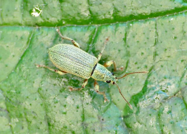 Silver-Green Leaf Weevil - Phyllobius argentatus