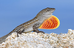 Brown Anole - Photo (c) Jill Bazeley, some rights reserved (CC BY-NC)