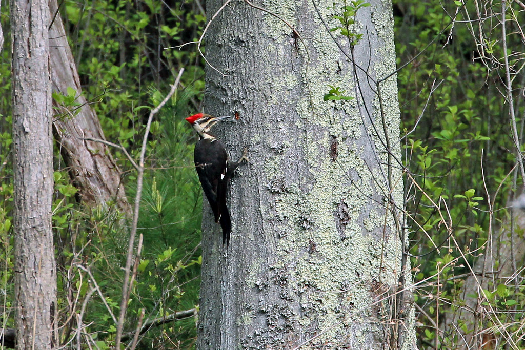 Photo: Pileated Woodpecker (Hylatomus pileatus) © Ray Burns