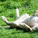 Just a Big Cat sunbathing....
