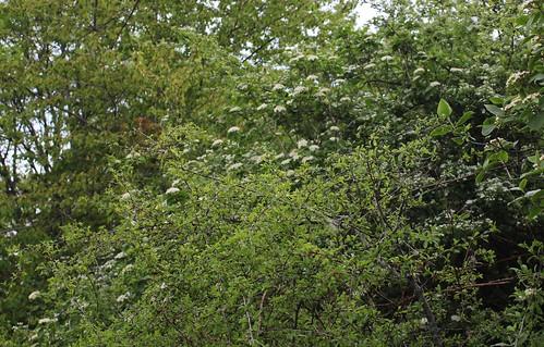 Viburnum lantana - viorne mancienne 40276333030_45cbae6f66
