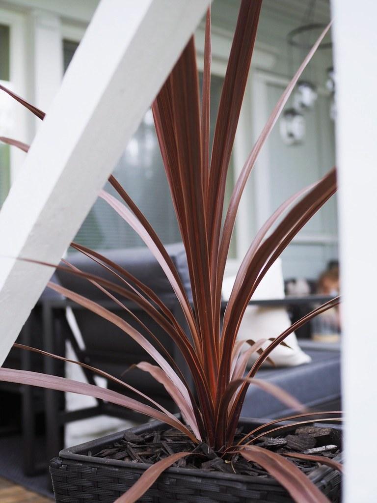 Verililjapuu kasvi