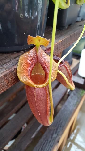 N. Spathulata x Jacquelineae(1)