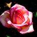 Rose in The  Ofuna Botanical Garden, Ofuna, Kamakura : バラ(神奈川県立フラワーセンター大船植物園)