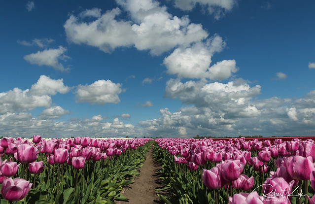 Dutch Tulip fields!